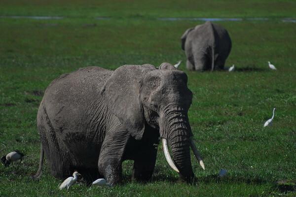 Примеры комменсализма в природе - Крупный рогатый скот и египетские цапли