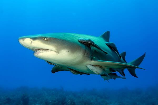 Примеры комменсализма в природе - Акулы и рыба-прилипала