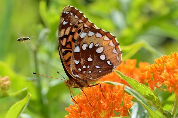 Примеры комменсализма в природе - Ваточник и данаида монарх