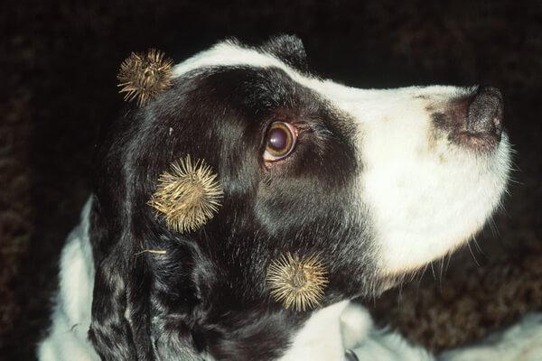 Примеры комменсализма в природе - Семена лопуха на животных