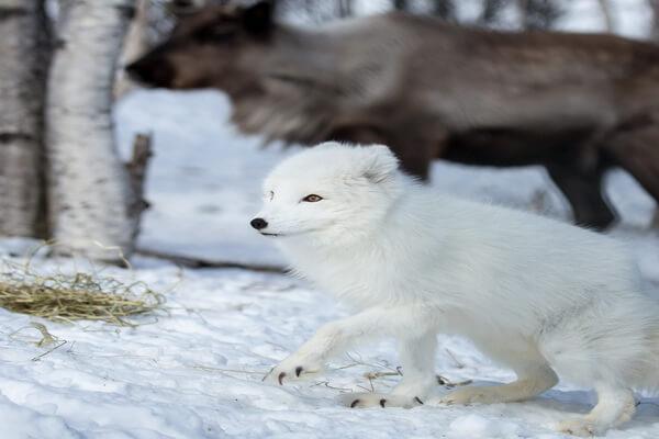 Примеры комменсализма в природе - Северный олень и песец