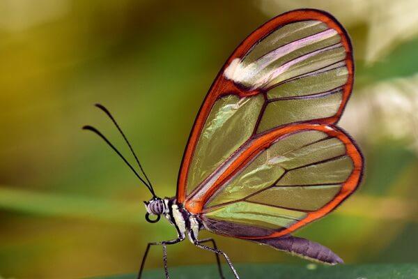 Прозрачные животные с фото и описанием - Грета Ото или стеклянная бабочка