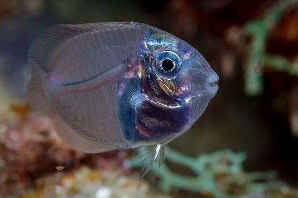 Прозрачные животные с фото и описанием - Прозрачная полосатая рыба-хирург