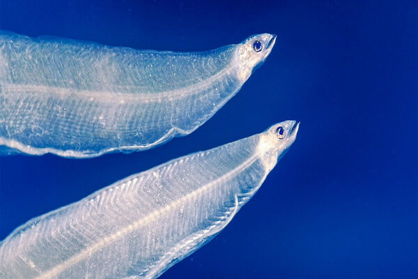 Прозрачные животные с фото и описанием - Личинки речного (европейского) угря