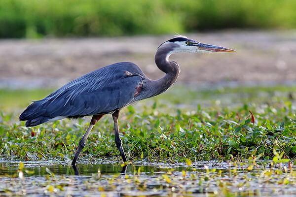 Описание птицы цапли - внешний вид и повадки