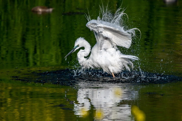 Птица цапля - интересные факты