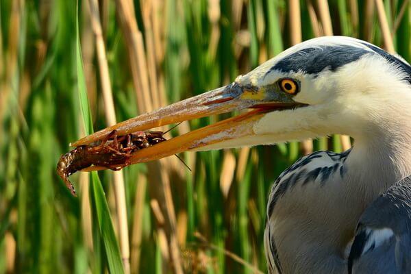 Что едят цапли - основной рацион этих птиц