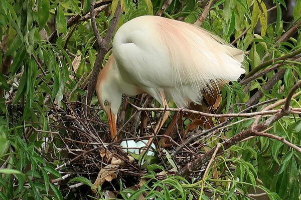 Птица цапля - выведение потомства