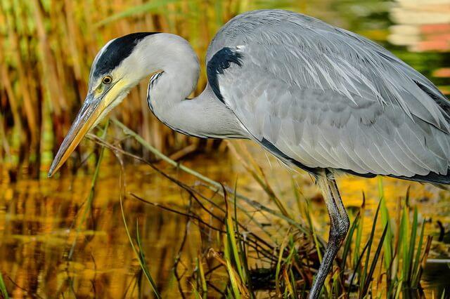 Птица цапля - фото, описание, интересные факты