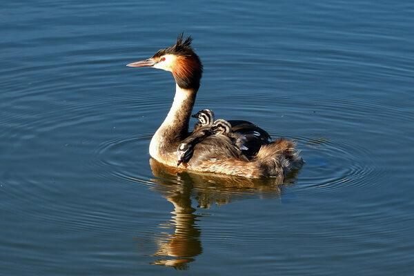 Птица чомга плавает с птенцами на своей спине