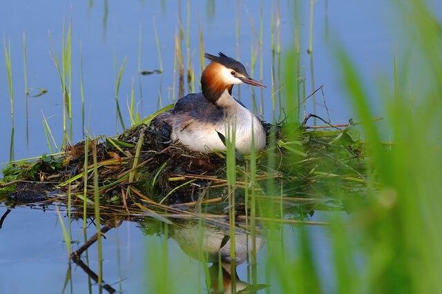 Птица чомга или большая поганка - фото и описание птицы
