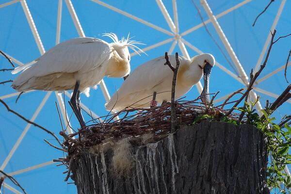 Гнездо обыкновенной колпицы