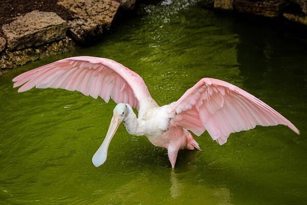 Виды колпицы с фото и описанием - Розовая колпица
