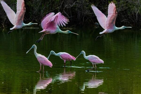 Розовая колпица - фото и описание