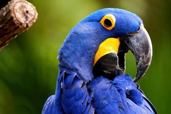 Бразильские птицы с фото и описанием - Гиацинтовый ара