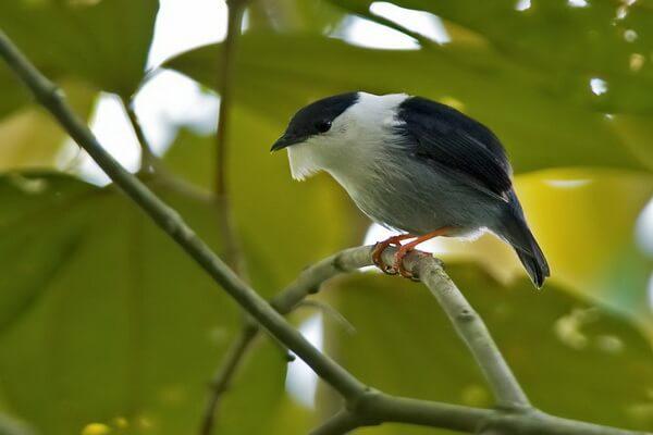 Птицы Бразилии с фото и описанием - Белогорлый бородатый манакин
