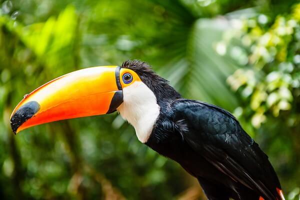 Бразильские птицы с фото и описанием - Большой тукан