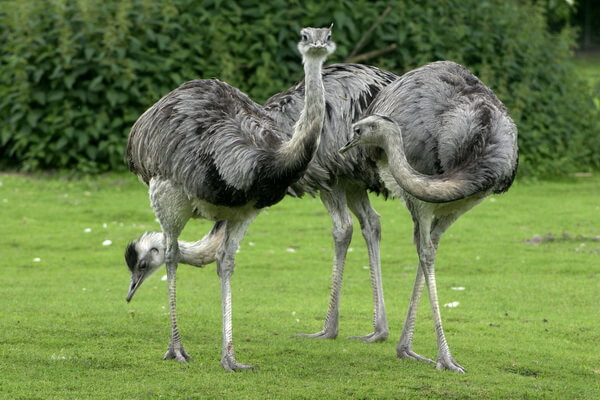 Птицы Бразилии с фото и описанием - Обыкновенный или большой нанду