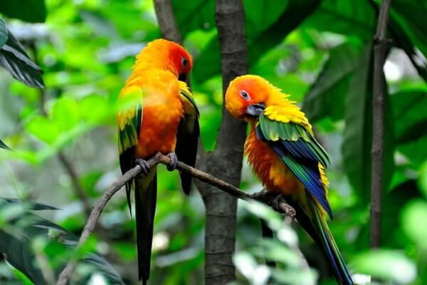 Птицы Бразилии с фото и описанием - Попугай ендайя или яндайя