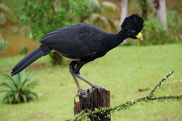 Бразильские птицы с фото и описанием - Гололицый кракс