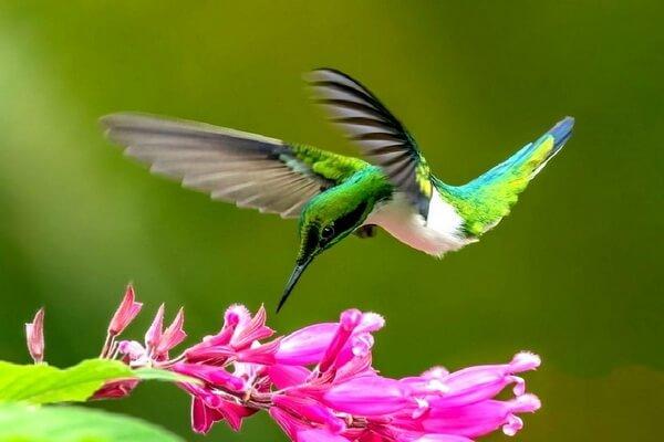 Бразильские птицы с фото и описанием - Черноухий ушастый колибри