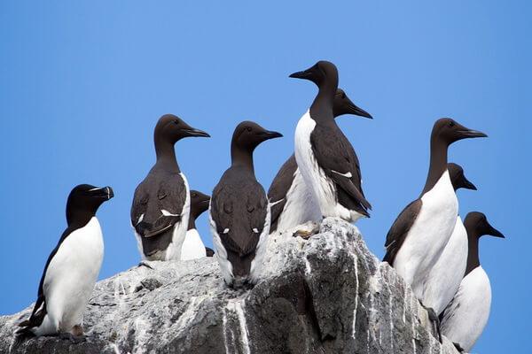 Птицы Камчатки с фото и описанием - Кайры