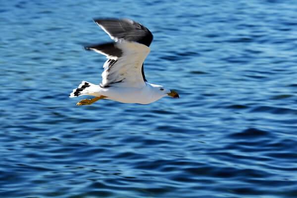 Птицы Камчатки с фото и описанием - Тихоокеанская чайка