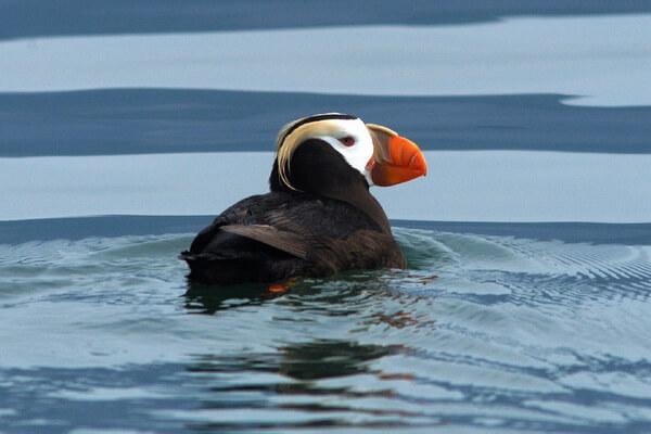 Птицы Камчатки с фото и описанием - Топорок