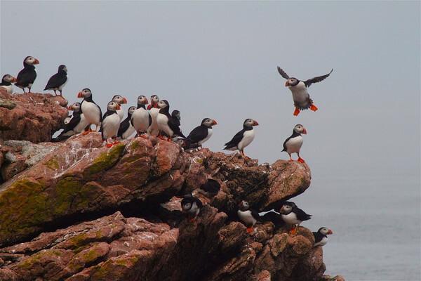 Птицы Камчатки с фото и описанием - Тупики