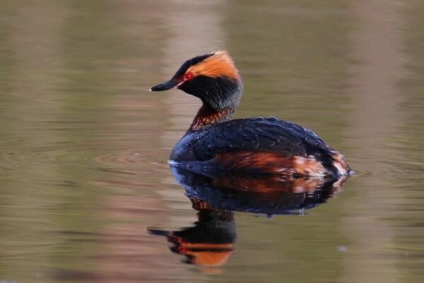 Птицы Камчатки с фото и описанием - Поганка