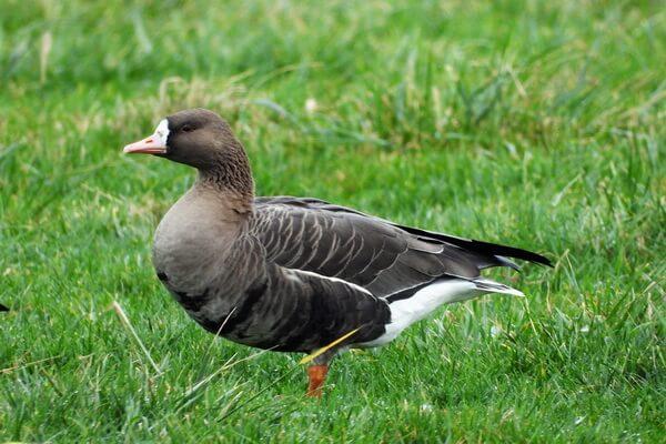 Птицы Камчатки с фото и описанием - Белолобые гуси