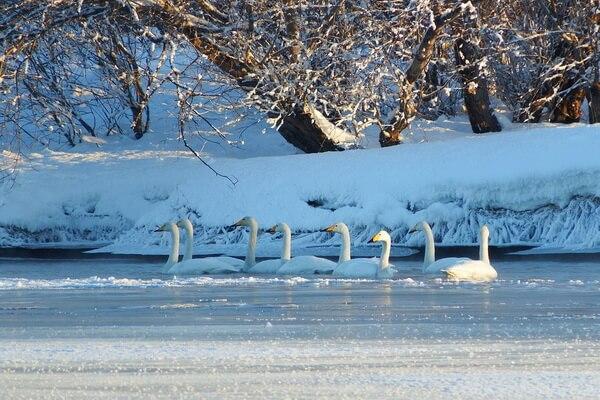 Птицы Камчатки с фото и описанием - Лебеди-кликуны