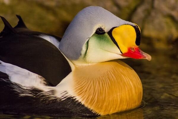 Птицы Камчатки с фото и описанием - Гага-гребенушка