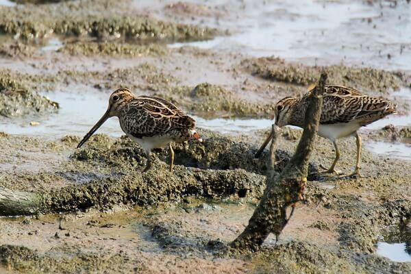 Птицы Камчатки с фото и описанием - Бекас