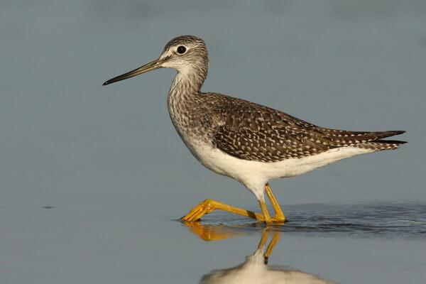 Птицы Камчатки с фото и описанием - Охотский улит