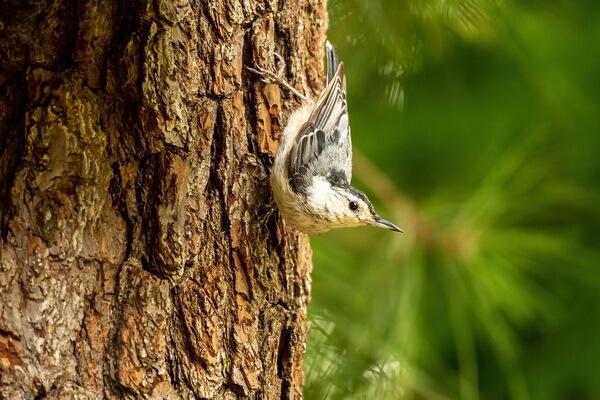 Птицы Камчатки с фото и описанием - Поползень