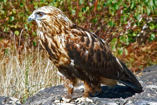 Хищные птицы Камчатки с фото и описанием - Мохноногий канюк