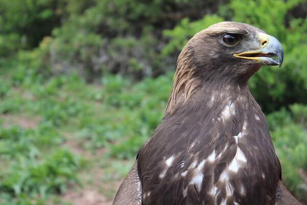 Хищные птицы Камчатки с фото и описанием - Беркут