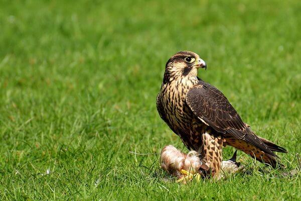 Хищные птицы Камчатки с фото и описанием - Сапсан