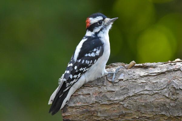 Пушистый дятел - особенности брачного периода птицы