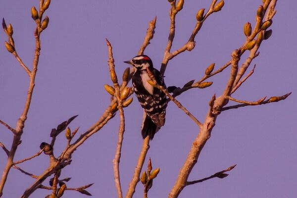 Размножение пушистых дятлов