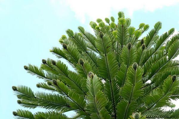 Пустынные растения с фото и описанием - Воллемия (пустыни Австралии)