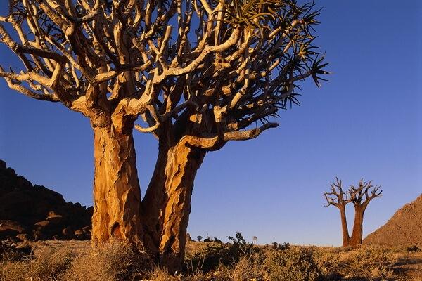 Пустынные растения с фото и описанием - Железное дерево (пустыня Сонора в Северной Америке)