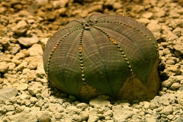 Пустынные растения с фото и описанием - Молочай тучный (пустыня Кару в Южной Африке)