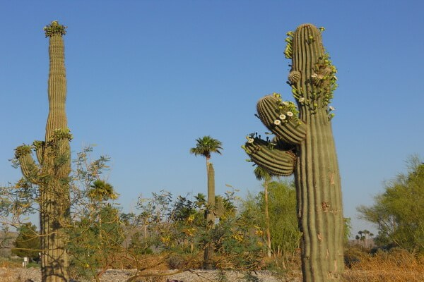 Пустынные растения с фото и описанием - Карнегия гигантская или сагуаро (пустыня Сонора в Аризоне США)