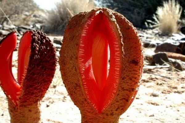Пустынные растения с фото и описанием - Гиднора африканская (пустыни Африки)