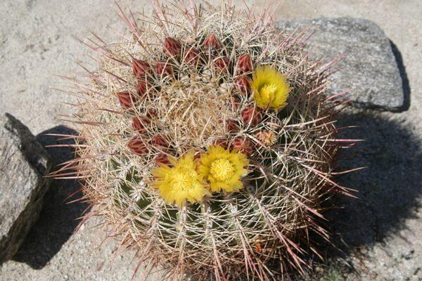 Пустынные растения с фото и описанием - Бочковые кактусы (Юго-западные американские пустыни)