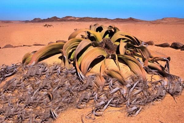 Пустынные растения с фото и описанием - Вельвичия удивительная (пустыня Намиб в Африке)