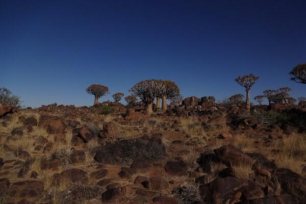 Колчанное дерево - национальное растение Намибии