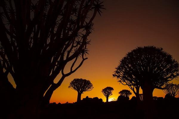 Лес колчанных деревьев в Намибии